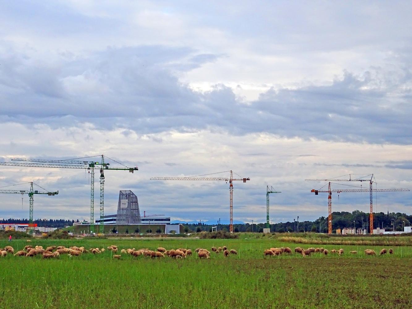 Freiham Feld mit Schafen